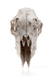 Deer skull Stock Photo