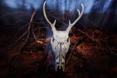 Deer Skull. A skeleton deer head with antlers, at dusk in the woods Stock Photography