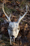 Deer Skull Royalty Free Stock Image