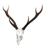 Deer Skull with 6 Point Antlers Royalty Free Stock Photo