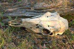 Deer Skull. Whitetail deer buck skull lying on the ground Stock Images