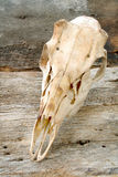 Deer Skull Stock Photos