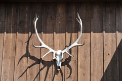 Deer skull against a wooden wall Stock Photos