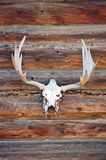 Deer skull with antlers stock photography