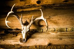 Deer Skull with Antlers as Wall Decoration. Deer skull with antlers found hanging in the front room of an old pioneer log cabin as a trophy or wall a decoration stock photos