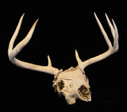 Deer skull with antlers on black. Whitetail buck deer skull with antlers isolated on black Royalty Free Stock Images