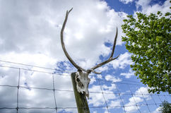 Deer skull with antlers on fence in New Zealand Royalty Free Stock Image