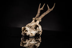 Deer skull. On a black background Stock Photography