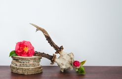Roe deer skull with camellias for decoration. Deer Skull for decoration with camellias on birch trunk and wooden bottom Stock Photography
