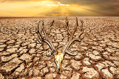 Deer skull on drought land and cracked earth in sunrise with cli Royalty Free Stock Images