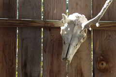 Deer skull on a fence. In bright sunlight Royalty Free Stock Images