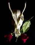 Deer Skull with Flowers. Deer Skull on a Black background Royalty Free Stock Photos