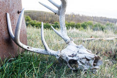 Deer Skull found in a Pasture Stock Photo
