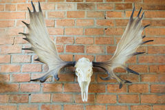 Deer skull hanged Stock Photography