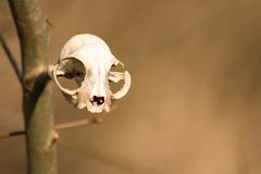Deer skull. A deer skull hanging on a branch Stock Photos