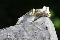 Deer Skull. Placed on a huge boulder Royalty Free Stock Images