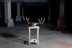 Deer skull on stand in dark Royalty Free Stock Images