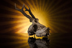 Deer skull. In the sun on black background Royalty Free Stock Photography