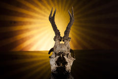 Deer skull. In the sun on black background Royalty Free Stock Images