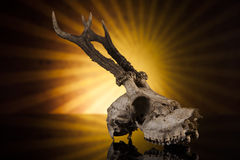 Deer skull. In the sun on black background Royalty Free Stock Photo