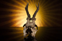 Deer skull. In the sun on black background Royalty Free Stock Image