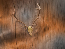 Deer Skull on Bare Tree Bark. Lacquered deer skull on abstract tree bark lines in sepia tones Stock Photo