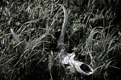 Deer Skull stock image