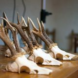 Deer skulls and horns, hunting trophy Stock Photography
