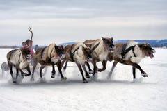 Deer sledding. Deer running in a sledding contest in the snow Stock Photo