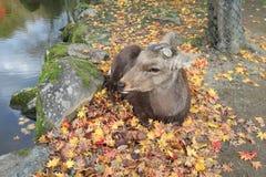 Deer sleep on autumn maple leaves near swamp at Nara park, Japan Royalty Free Stock Image