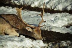 Deer sleeping. A deer sleeping over the snow Royalty Free Stock Images