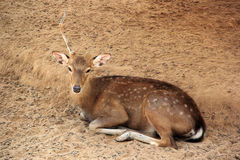 Deer sleeping Stock Photo