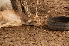 Deer sleeping Royalty Free Stock Image