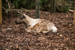 Deer with small antlers laying on brown leaves. A deer with small antlers laying on brown leaves Royalty Free Stock Photo