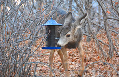A Deer Snack at the Bird Feeder Royalty Free Stock Images