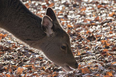 Deer. A deer sniffing autumn leaves in the sunshine Stock Photography