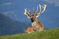 Deer sniffing Stock Images