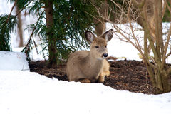 Deer in Snow Royalty Free Stock Photos