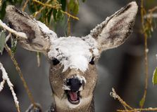 Deer in the snow. A deer with snow on its head Stock Image