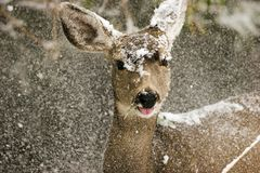 Deer in the snow. A deer in the snow Stock Photos