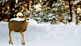 Deer on snow Stock Photo