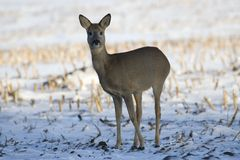 Deer in the snow, Royalty Free Stock Images