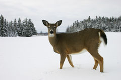 Deer in the Snow. Deer walking in a snow-filled field in Quebec, Canada Royalty Free Stock Photo