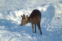 Deer on the snow stock photo