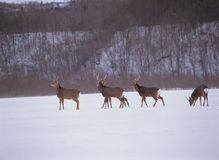 Deer and Snow Stock Images