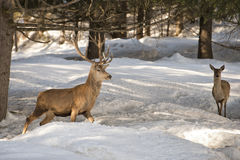 Deer on the snow backgrond Stock Images