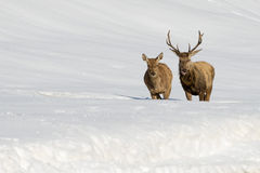 Deer on the snow backgrond Royalty Free Stock Photo