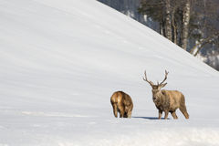 Deer on the snow background Stock Photography