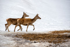 Deer on the snow background Stock Photos