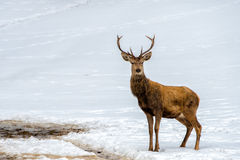 Deer on the snow background Stock Image